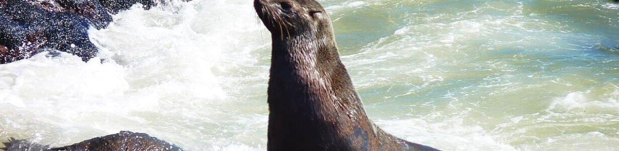 Plastic nets harm seals in Africa, but volunteers do their best to help