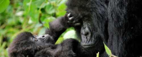 Protecting mountain gorillas in the Congo is no child's play