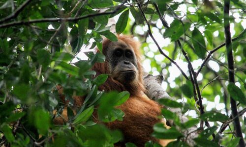 Rare orangutans are losing even their last remaining forests