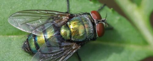 Fly infertility shows we're underestimating how badly climate change harms animals