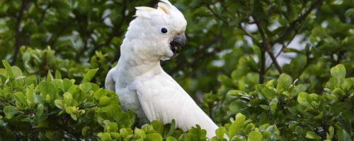 Wild cockatoos are pretty darn smart, scientists find