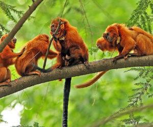 Racing to save golden lion tamarins from an epidemic