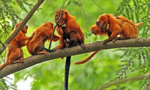 Racing to save golden lion tamarins from an epidemic