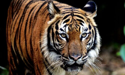 Saving Malaysia's last wild tigers is an uphill struggle