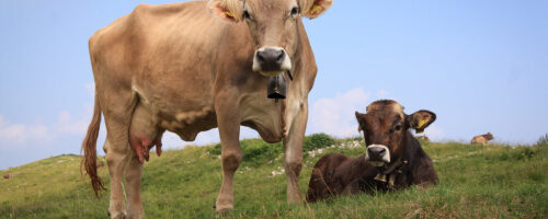 A small change in the diet of cattle can greatly reduce methane emissions