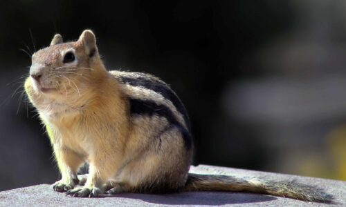 Squirrels in the Rockies are feeling the pitch of warming temperatures
