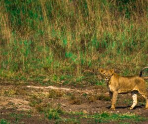 Animal-human conflicts are on the rise in Africa, but there's a solution