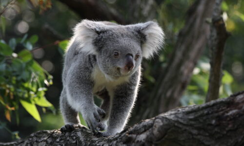 A new 3D genome will aid efforts to defend koalas