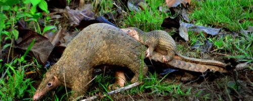 Pangolins in the Philippines still have a fighting chance
