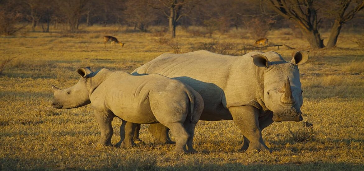 A glimmer of hope for northern white rhinos