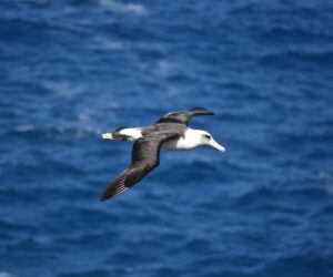 Plastic in the ocean kills threatened albatrosses