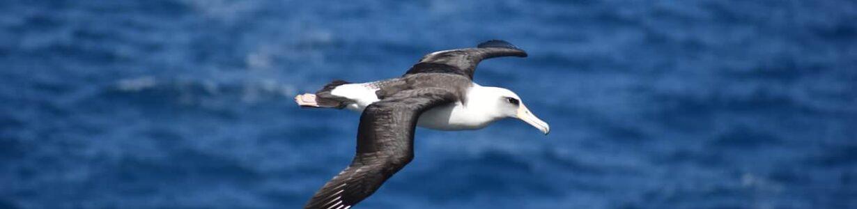 Plastic in the ocean kills threatened albatrosses