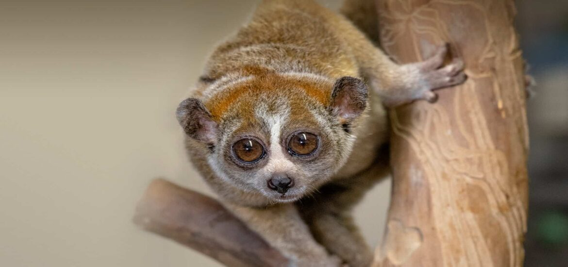 An initiative in Sumatra leads the way in saving endangered pangolins and slow lorises