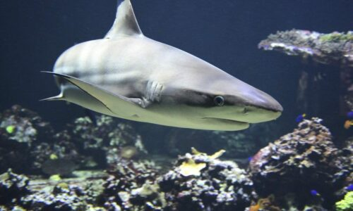 In a 'tropical paradise' reef sharks get slaughtered wholesale