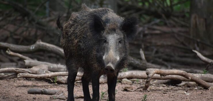 Carbon hoofprint: wild pigs release as many emissions as 1 million cars a year