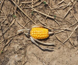 Frequent extreme weather events are increasing crop losses in Europe