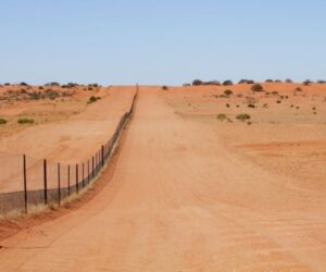 Fence study shows dingo's role in desert biodiversity