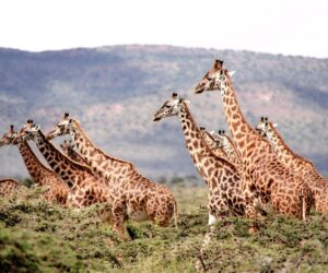 Giraffes are highly complex social animals, scientists find