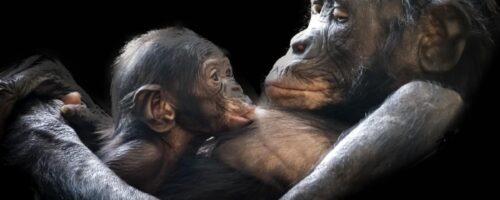 Great apes in Africa are set to lose most of their current ranges