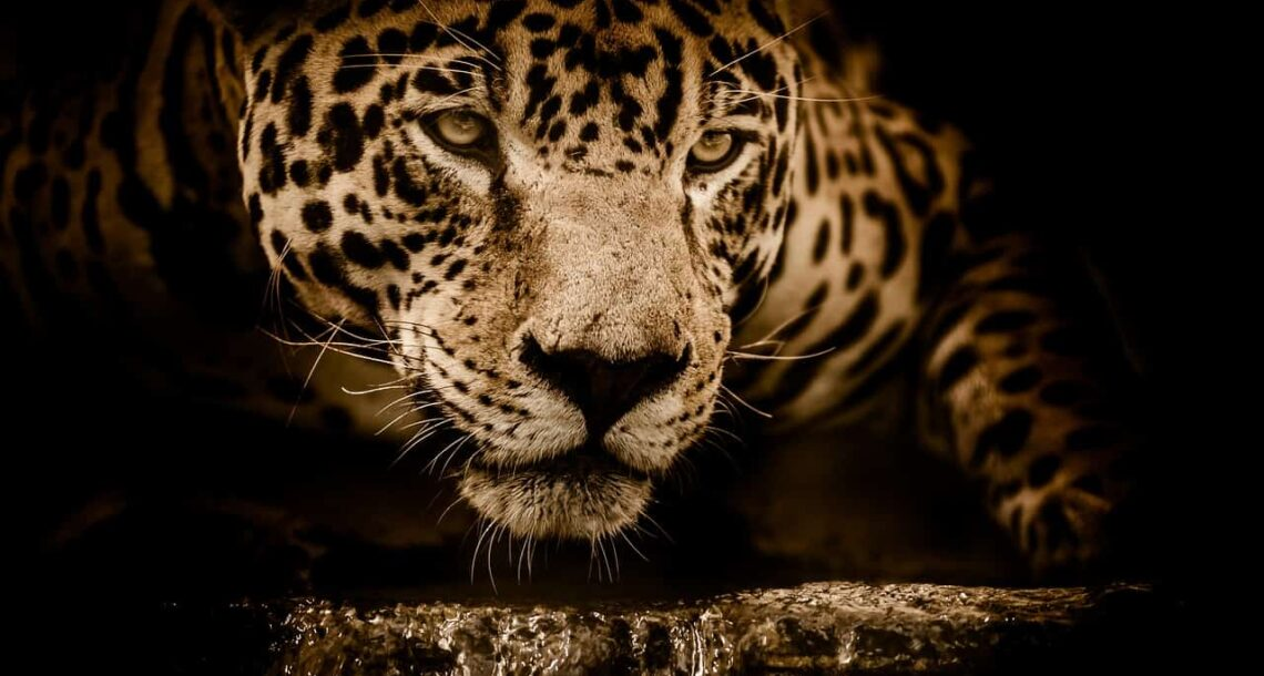 Wildfires in Brazil's Amazon are decimating jaguars