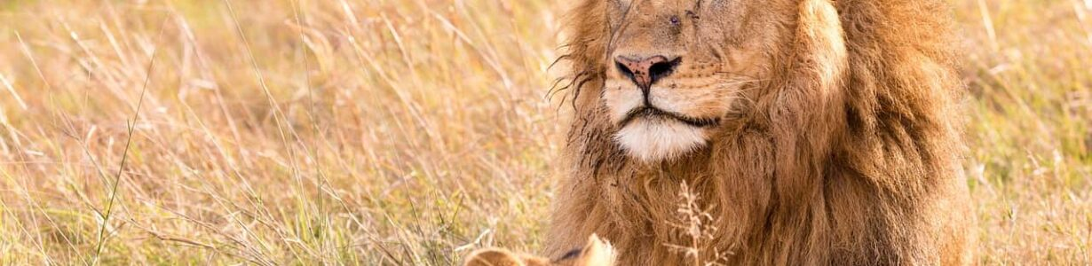 Africa's endangered lions can thrive in protected areas