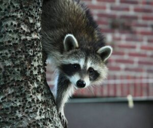 Mammals living in cities grow larger than their country cousins