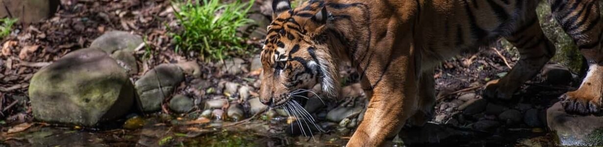 The poaching of Sumatra's endangered tigers remains an acute problem