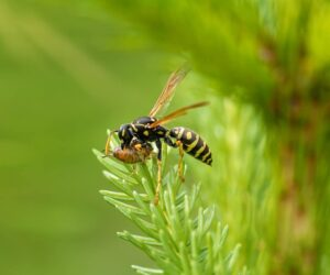 Much-maligned wasps do us a world of good